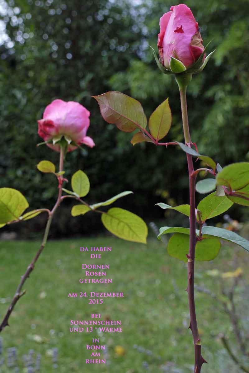 da haben die Dornen Rosen getragen_20151224_Bonn_1400806