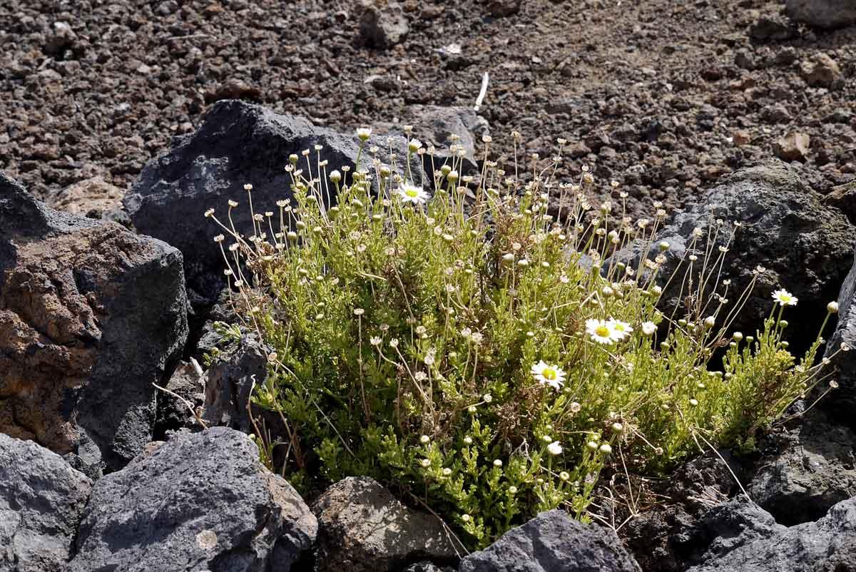 Margeriten in Vulkangestein