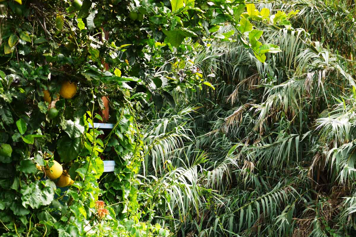 Zitronen so groß wie Orangen