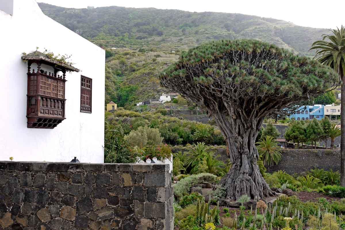 Drachenbaum 400 J - oder Liliengewächs - Agavenart_Icod de los Vinos