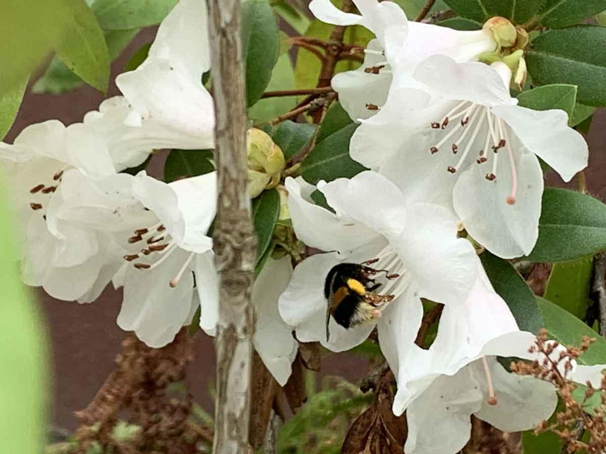 blühender rhododendron_mit fleißiger hummel und gelbem pollenfüßchen_20200307_IMG_5753_bearbeitet-1