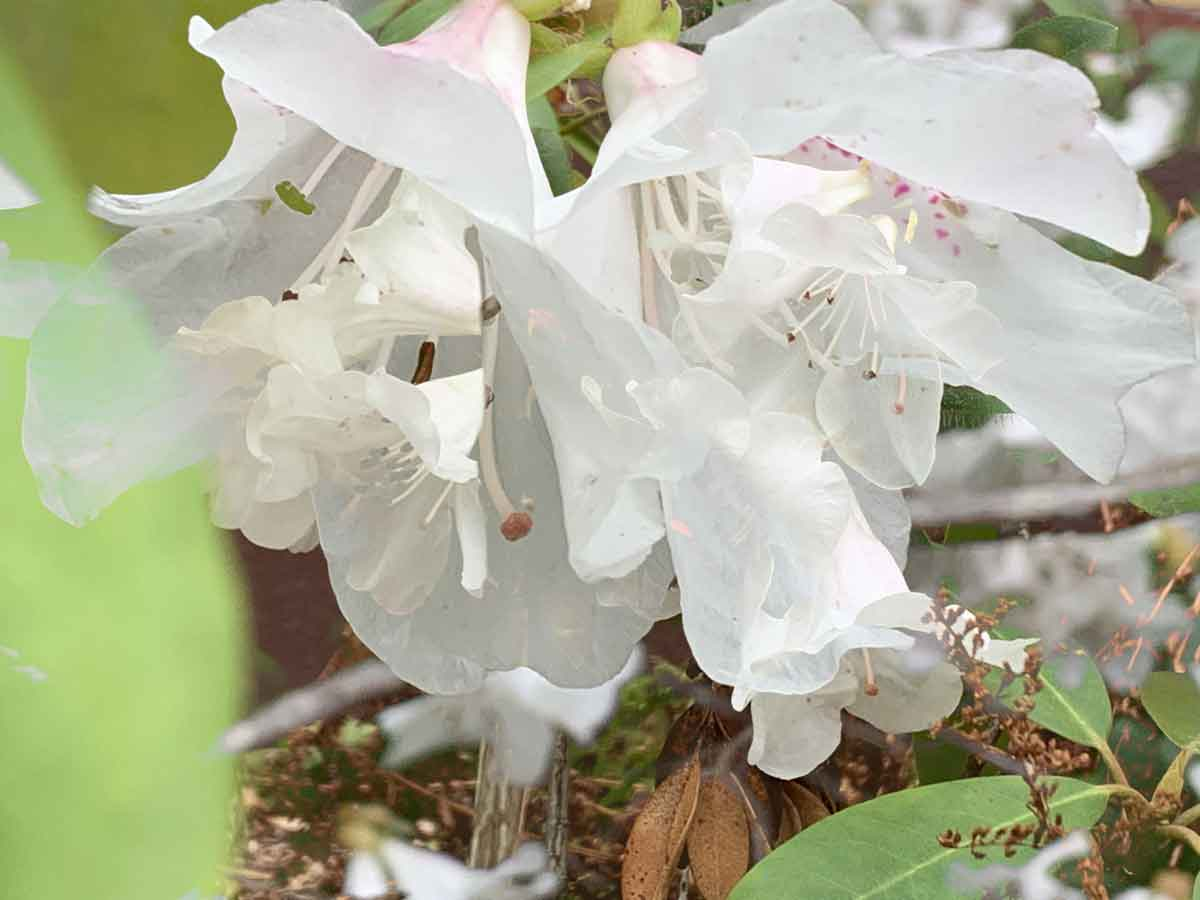flügelschwebetüll_blühender rhododendron_20200307_IMG_5753