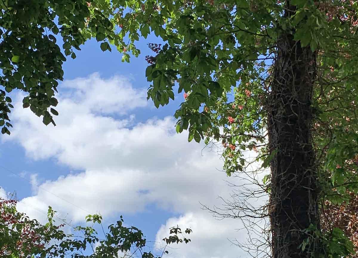 rotkastanienkerzen hüllen sich ein, 1. Mai 2020